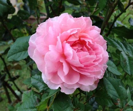 6月のバラ.jpg